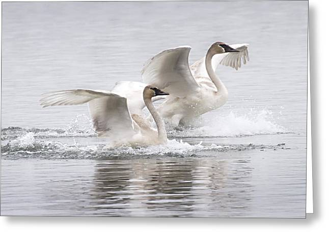 Trumpeter Swans Touchdown Greeting Card
