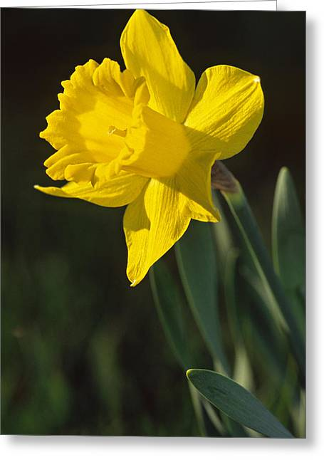 Trumpeting Daffodil Greeting Card