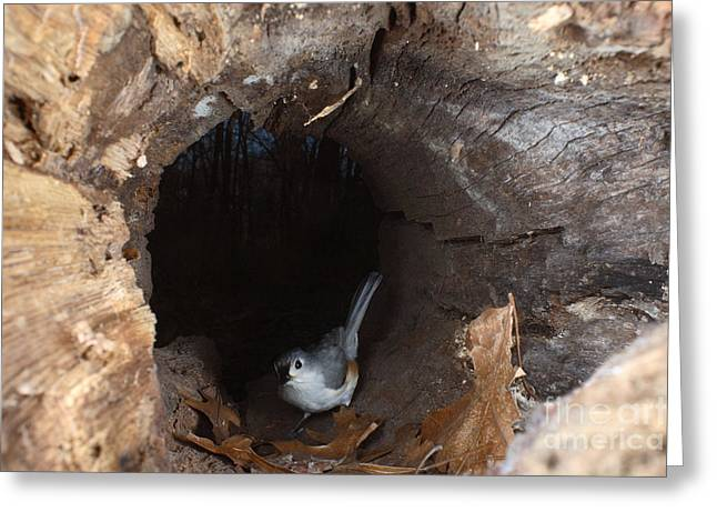 Tufted Titmouse In A Log Greeting Card by Ted Kinsman
