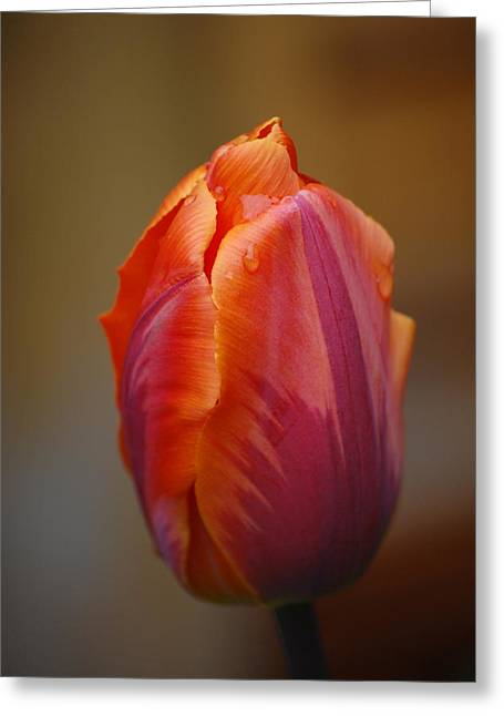 Tulip - Red Orange Greeting Card by Dickon Thompson