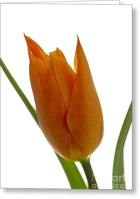 Tulip -1 Greeting Card by Tad Kanazaki