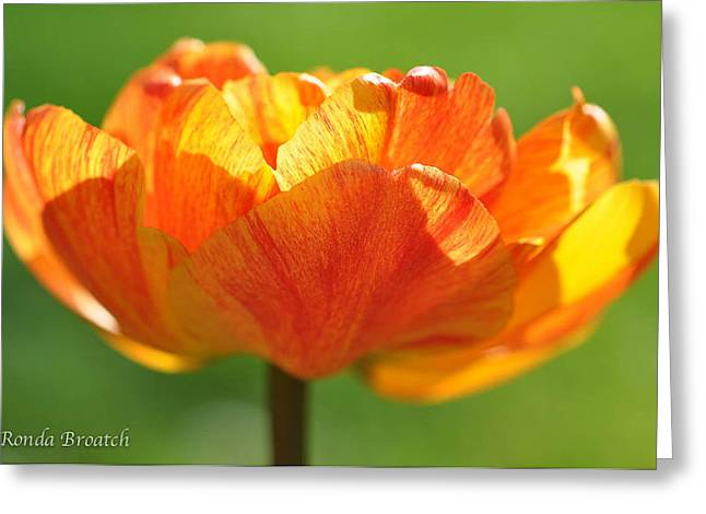 Greeting Card featuring the photograph Tulip Afire by Ronda Broatch