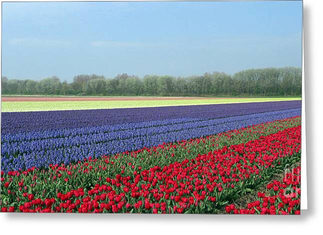 Tulip And Hyacinth Fields In Holland. Panorama Greeting Card