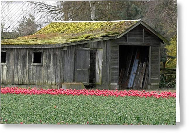 Tulip Barn Greeting Card by Mitch Shindelbower