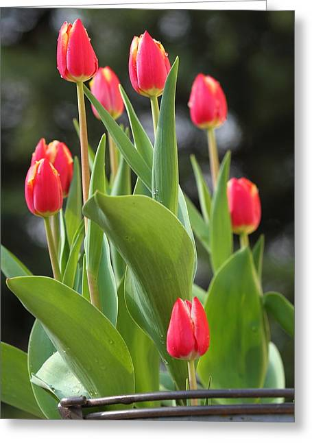 Greeting Card featuring the photograph Tulip Bucket by Coby Cooper