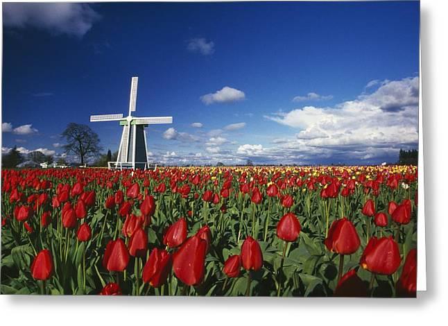 Tulip Field And Windmill Greeting Card