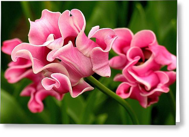 Tulip From Amsterdam Greeting Card by Anne Gordon