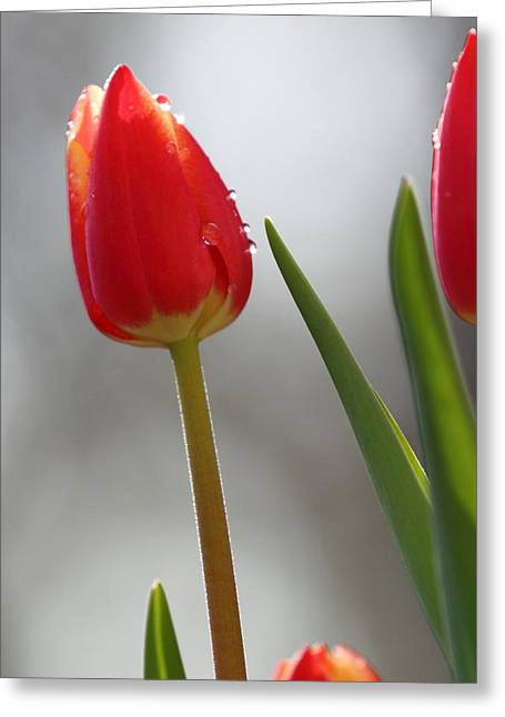 Greeting Card featuring the photograph Tulip Sparkle by Coby Cooper