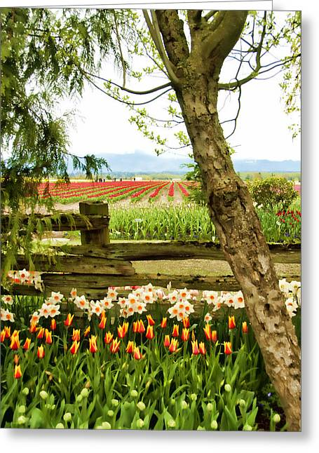 Tulip Time In The Skagit Valley Greeting Card by Beverly Hanson