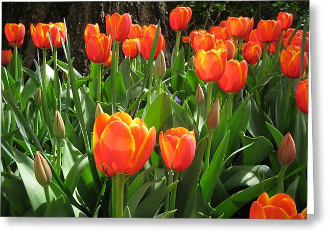 Tulip Time Greeting Card by Margaret Hodgson