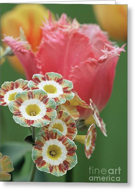 Tulip (tulipa 'fancy Frills') Greeting Card by Archie Young