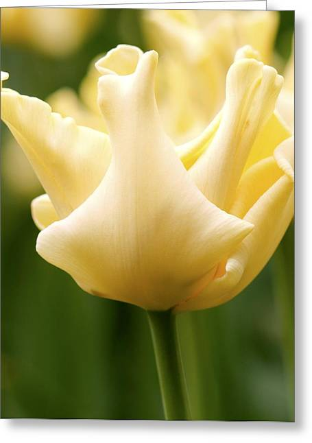 Tulip (tulipa 'yellow Crown') Greeting Card by Adrian Thomas