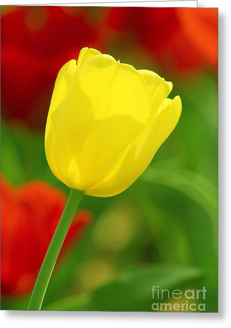 Tulipan Amarillo Greeting Card