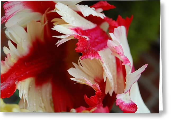 Tulips - Red And White Greeting Card by Dickon Thompson