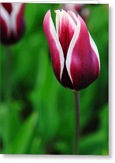 Tulips In Purple Greeting Card by Kean Poh Chua