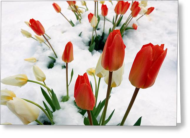 Tulips In The Snow Greeting Card by Steven Milner