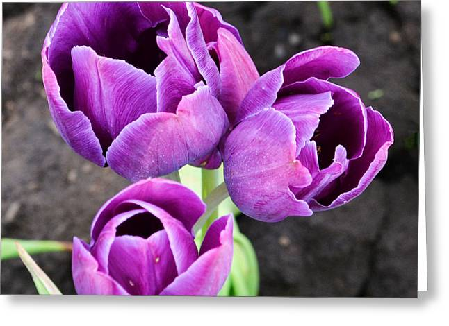 Tulips Queen Of The Night Greeting Card