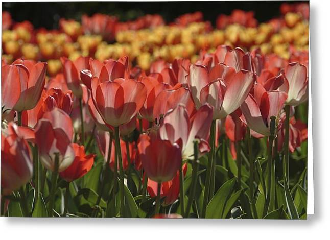 Greeting Card featuring the photograph Tulips  by Ralph Jones