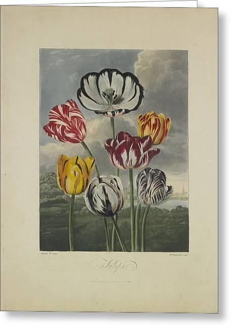 Tulips Greeting Card by Robert John Thornton