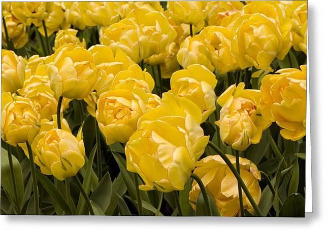 Tulips (tulipa 'akebono') Greeting Card by Adrian Thomas
