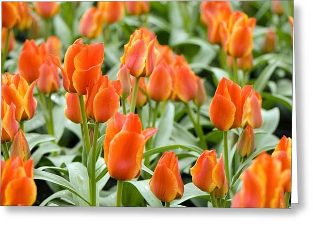 Tulips (tulipa Greigii 'compostella') Greeting Card