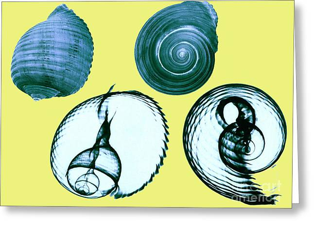 Tun Shell X-ray Greeting Card by Photo Researchers