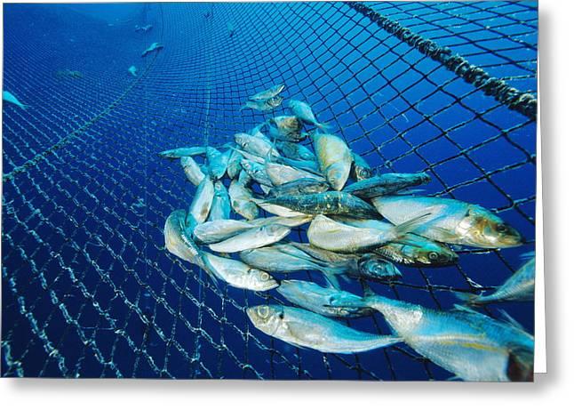 Tuna Fish Farm Food Greeting Card by Alexis Rosenfeld