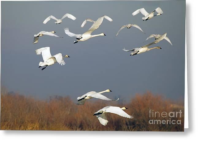 Tundra Swan Takeoff Greeting Card by Mike  Dawson