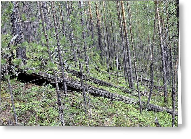 Tunguska Forest Greeting Card