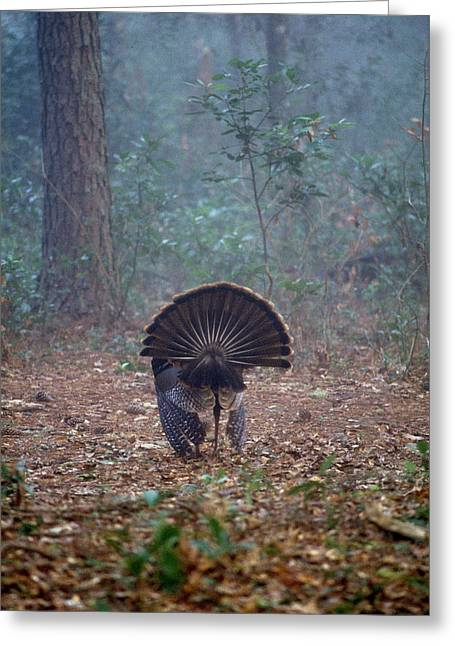 Turkey Feather Tail Greeting Card by David Campione