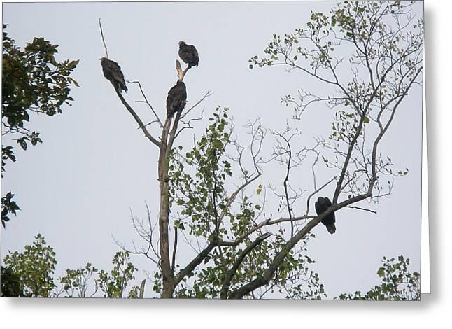 Turkey Vulture - Cathartes Aura Greeting Card by Mother Nature