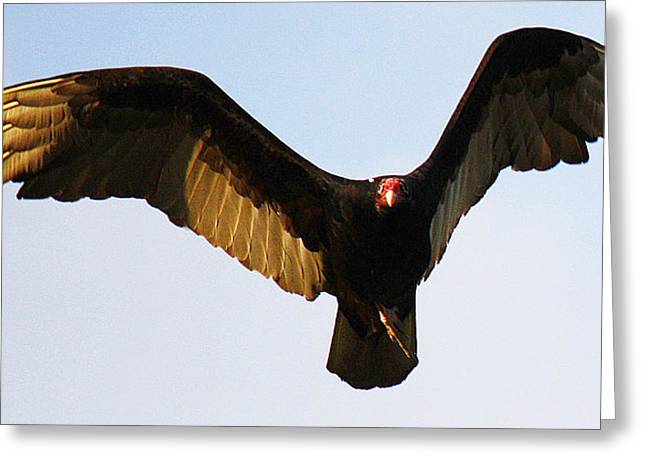 Greeting Card featuring the photograph Turkey Vulture Evening Flight by Roena King