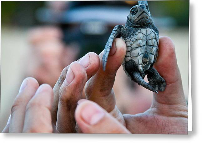 Turtle Release In San Pancho Greeting Card by Atom Crawford
