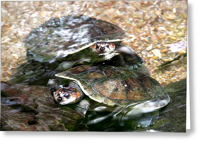 Turtle Two Turtle Love Greeting Card