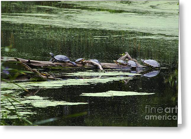 Turtles On Log Scarboro Pond#1  Greeting Card by Gordon Gaul