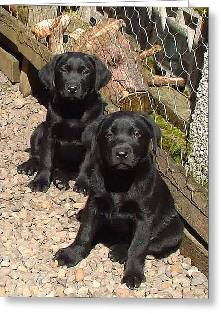 Twin Black Labrador Puppies Greeting Card