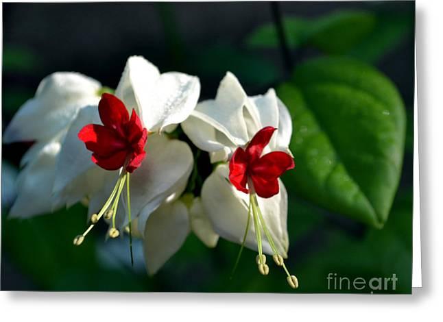 Twin Bleeding Heart Vine Flowers Greeting Card by Eva Thomas