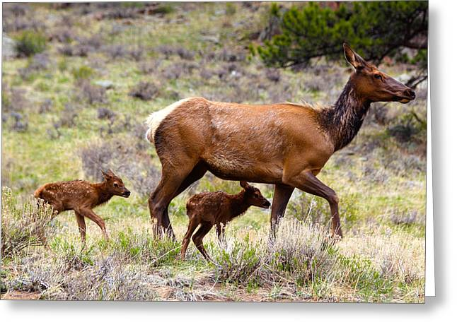 Twin Elk Calves Greeting Card