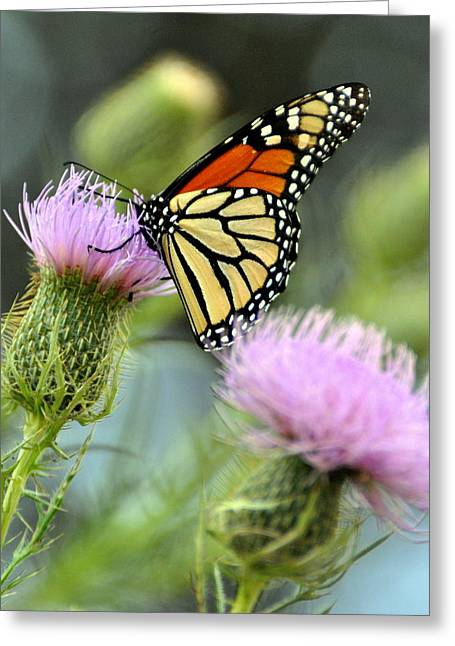 Twin Thistle Butterfly Greeting Card by Marty Koch