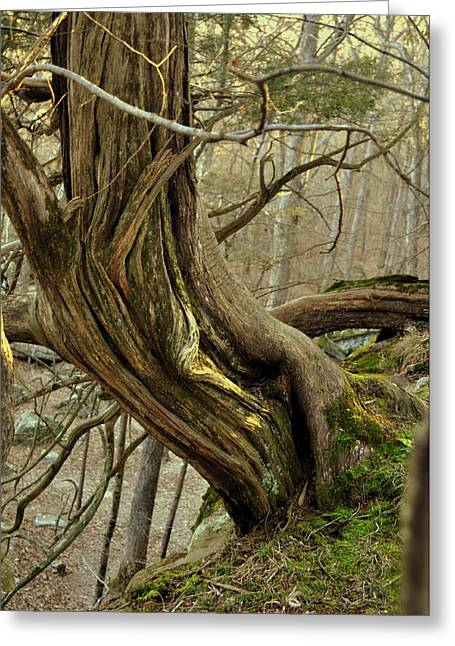 Twisted Cedar Greeting Card by Marty Koch