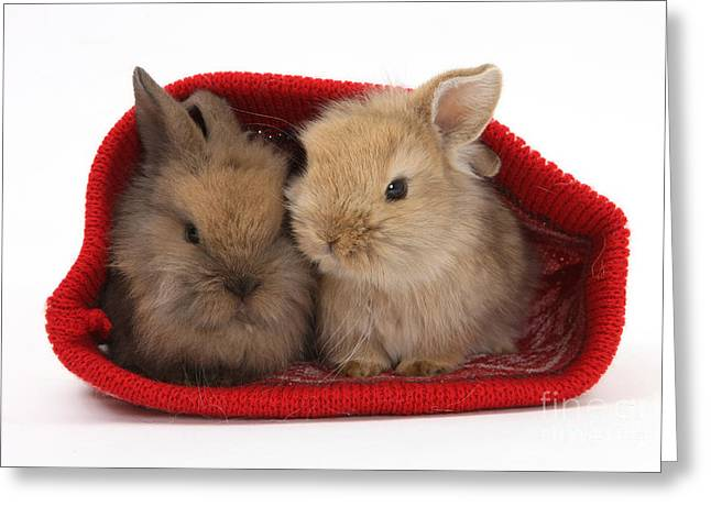 Two Baby Lionhead-cross Rabbits Greeting Card by Mark Taylor