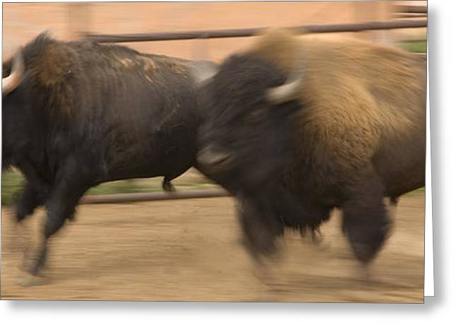 Two Bison Race Each Other Greeting Card by Ralph Lee Hopkins