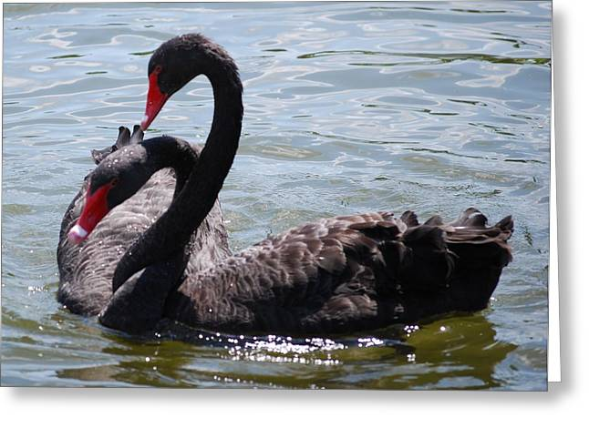 Two Black Swans Greeting Card by Carrie Munoz