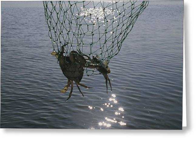 Two Blue Crabs Caught In Greeting Card