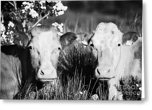 Two Brown And White Cows With Ear Tags Looking To Camera In Ireland Greeting Card by Joe Fox