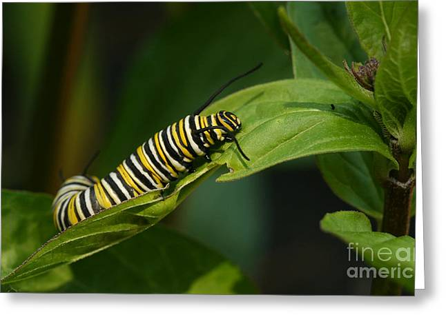 Greeting Card featuring the photograph Two Caterpillars by Steve Augustin