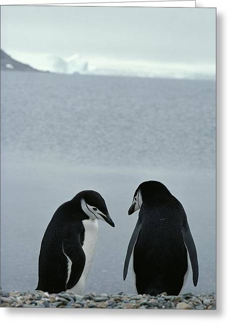 Two Chinstrap Penguins Stand Greeting Card by Gordon Wiltsie