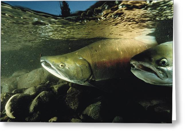 Two Chum Salmon, Oncorhynchus Keta Greeting Card