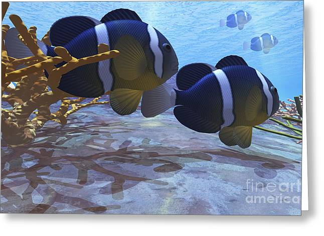 Two Clownfish Swim Among The Coral Beds Greeting Card by Corey Ford