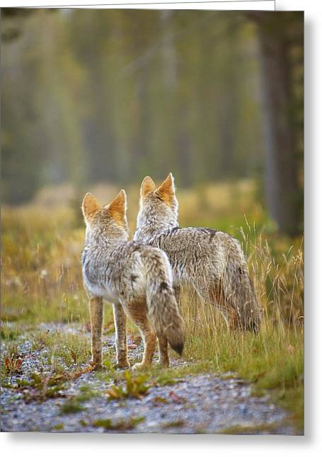 Two Coyotes Canis Latrans Canmore Greeting Card